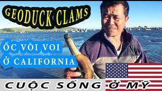 ( Ở NƯỚC MỸ) ĐI BẮT ỐC VÒI VOI Ở BẮC CALIFORNIA  ( GEODUCK CLAMS)