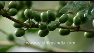 Coffee beans growing in Kerala