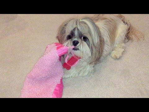 Playing with Lacey and her blanket | Shih Tzu dog