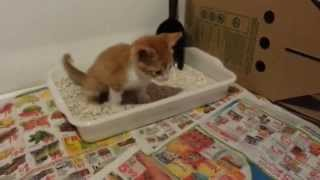 Kitten Uses Litterbox and Toilet