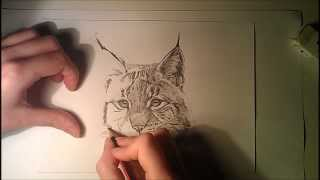 Speed Drawing Lynx