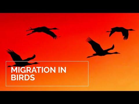 Migration In Birds (easy To Understand)