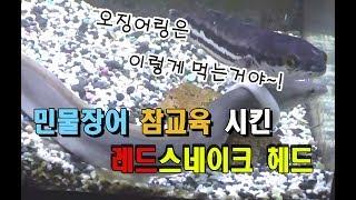[물생활] 민물장어 참교육 시킨 레드스네이크 헤드...…