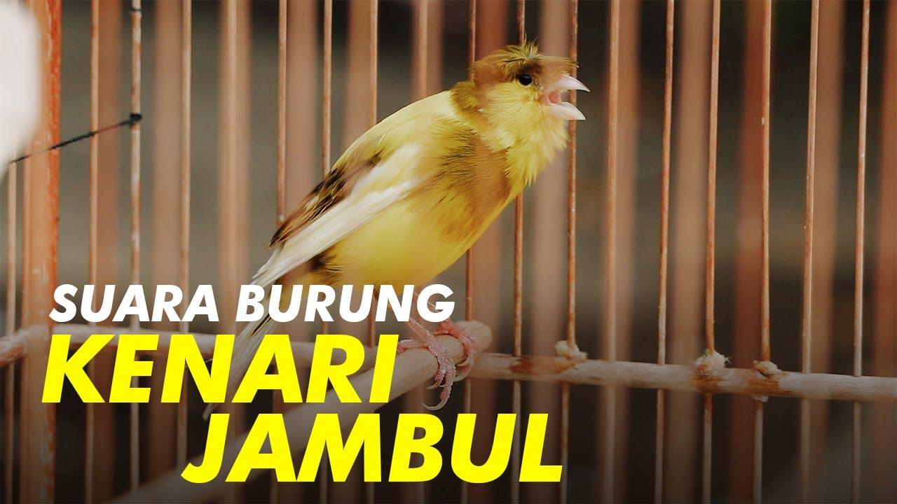 Suara Burung Kenari Jambul Gacor Youtube
