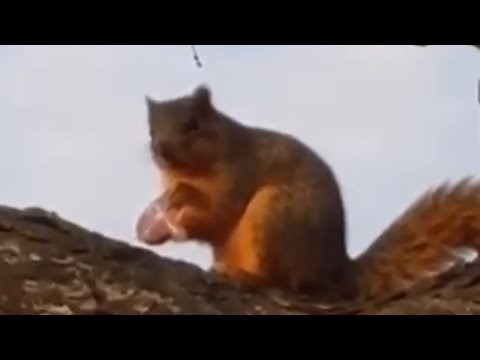 Sneaky squirrel steals baby's pacifier