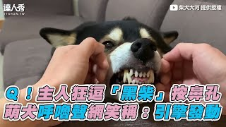 【Q!主人狂逗「黑柴」按鼻孔 萌犬呼嚕聲網笑稱:引擎發動】|柴犬大河
