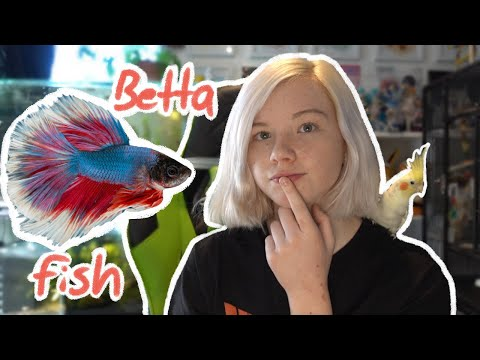 Should You Get A BETTA FISH?