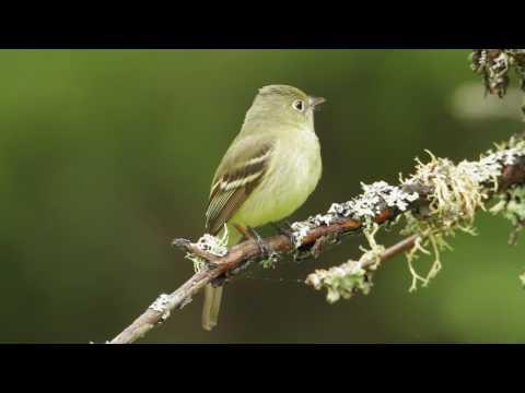 Yellow-bellied Flycatcher on YouTube