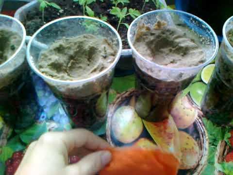 Нектарины и персики  из косточки