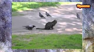 Ворона дразнит кошку