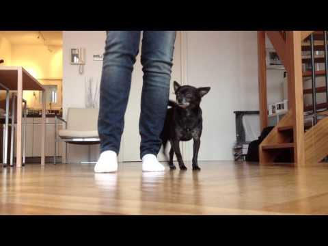 Chihuahua Meeru's Top 10 Tricks!