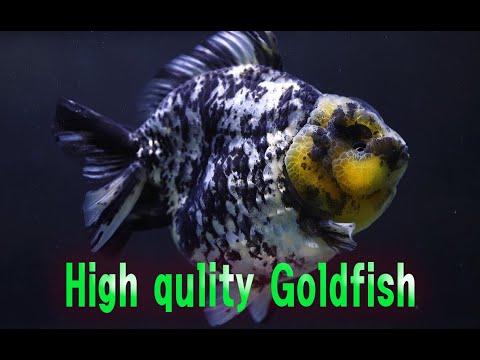 High Quality Goldfish