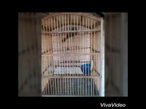 Burung Trucuk pikatan langsung Gacor