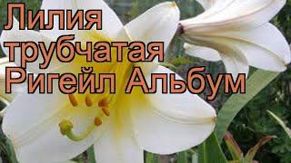 лилия трубчатая Ригейл Альбум  обзор: как сажать, луковицы лилии Ригейл Альбум