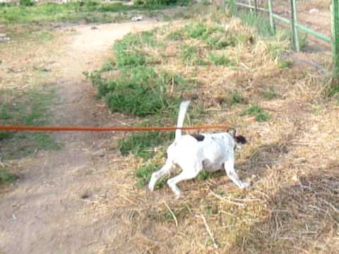 www.elhewpointersatsunrisekennels.com English pointer training, Sunrise kennels 520-907-5690