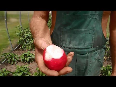 Помидоры,перцы и редиску,высаживаем в одной теплице ч.3(редиска)