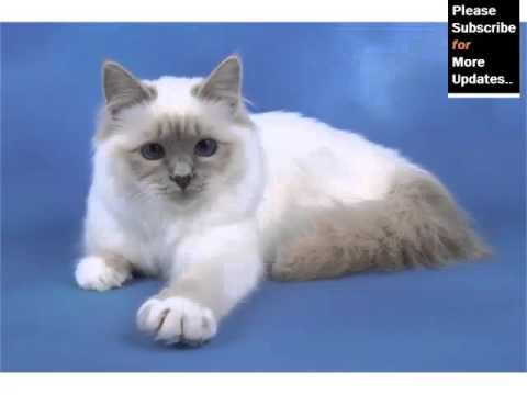 Birman Lilac - Cat Pictures