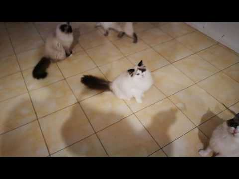 Cats jumping and playing ragdoll cats kittens