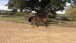 2015 Stallion by London (Nabab De Reve) X Polydor