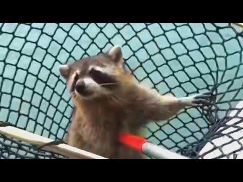Florida Police Struggle to 'Arrest' Trespassing Raccoon