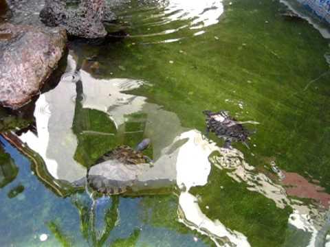 Turtles in La Arcada Fountain in Santa Barbara