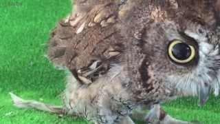i call an owl 呼べば来るフクロウ ニシアメリカオオコノハズク western screech owl