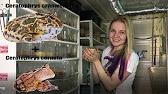 Лягушка голиаф самая большая лягушка в мире. Открыта и описана учеными лишь в начале xx века. Внешне голиаф похож на обыкновенную лягушку.