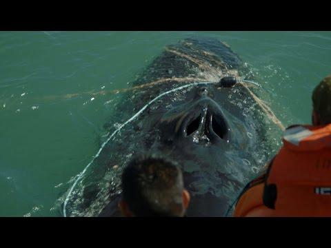 Heroes Rescue Humpback Whale from Illegal Fishing Nets