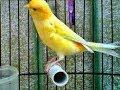 Terbongkar Inilah Cara Mengatasi Burung Kenari Macet Males Bunyi  Mp3 - Mp4 Download