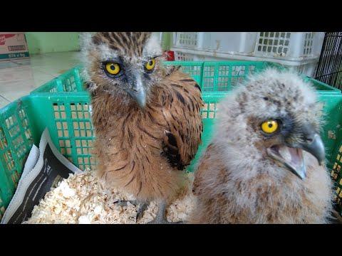 Duet Buffy Fish Owl