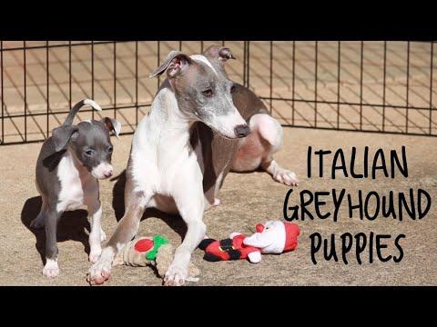Italian Greyhound Puppies - Italian Greyhound Litter