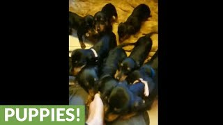Man must choose 1 of 12 dachshund puppies for his wife