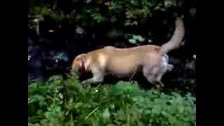 Собака-катастрофа купается в грязи (Лабрадор Умка)