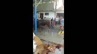600 kg dev dana kesim ilk 20 saniyeye dikkat Sekitaş mezbahane Konya Beyşehir üzümlü