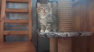 Сибирский котенок из питомника