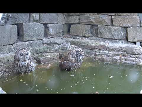 Robert E Fuller: Two Tawny Owls In the Hoottub!