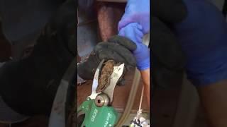 Taglia unghie per ovini forbice elettrica Arvipo EC40 - CORMAF srl