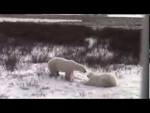Polar Bear Tour Footage from Churchill, Manitoba