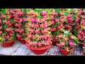 Gambar cover 5 Cara Menaman Buah Naga dalam POT | How To Grow Dragon Fruit