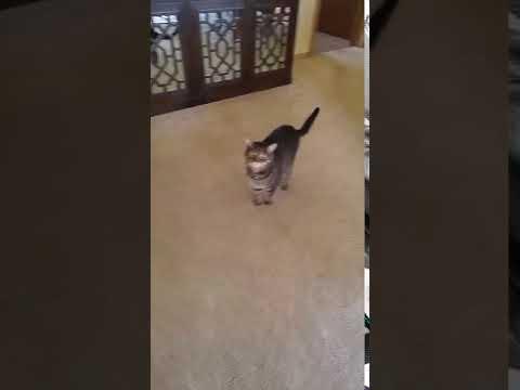 Cute cat meow