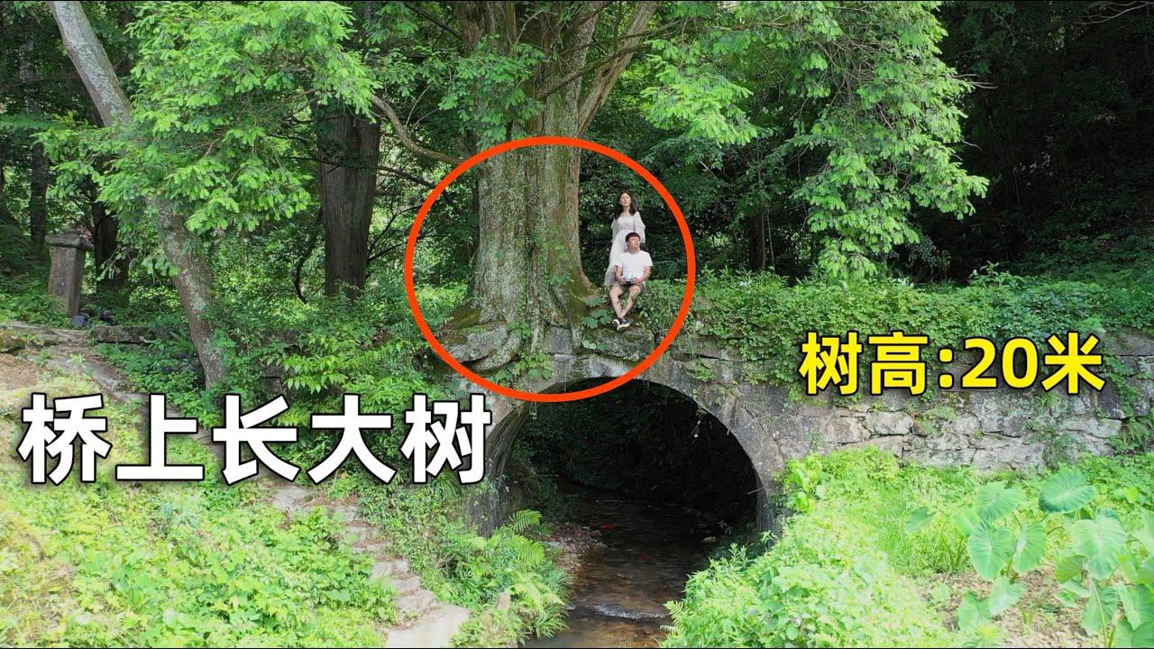 湖南郴州大山里,一石桥上长出一棵20多米高的大树,真不简单!