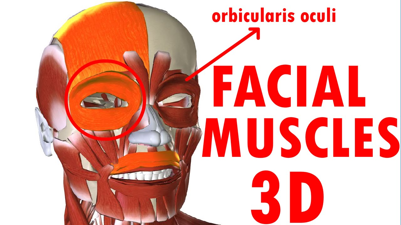 Muscles Of Facial Expression - Face Anatomy part 1 - YouTube