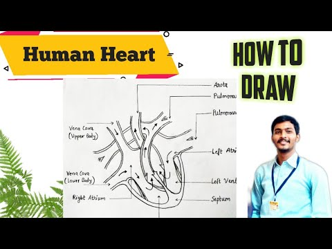 How to draw human heart | easy method to draw human heart ...