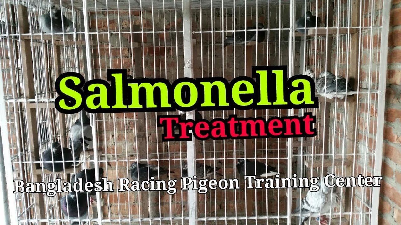 Pigeon disease salmonella (pigeon treatment)
