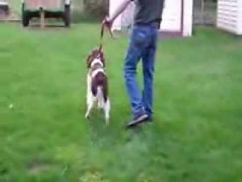 dominate-aggression-springer-spaniel