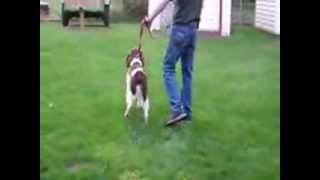 Dominate Aggression Springer Spaniel
