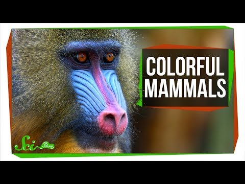 Why Aren't Mammals More Colorful?