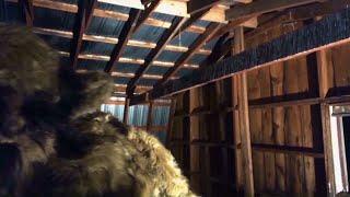 Dogman caught on Video destroys Barn