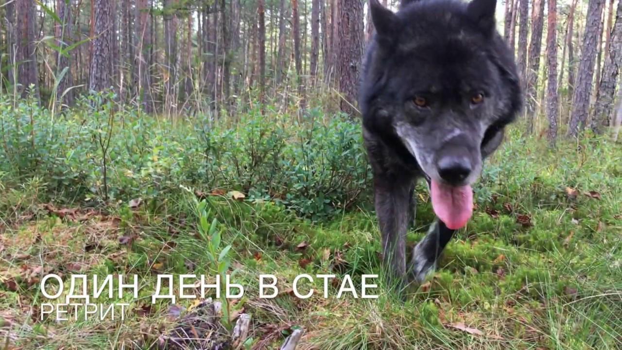 Медитации с волками. Ретрит Один день в стае