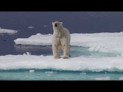 Fat Polar Bears Off Baffin Island
